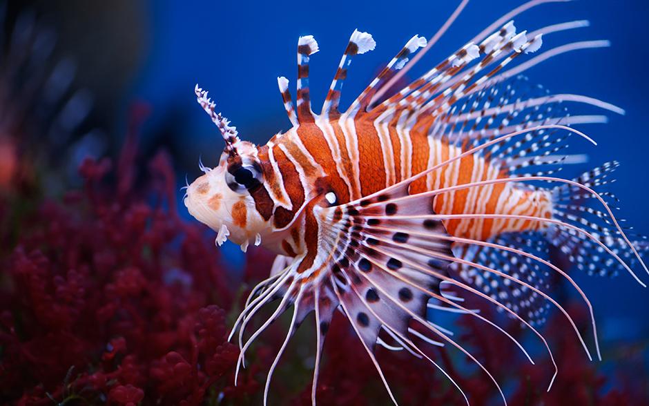 Lionfish Aquarium Of Canada