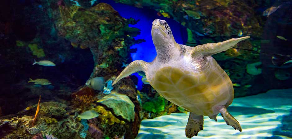 ripleys-aquarium-green-sea-turtle