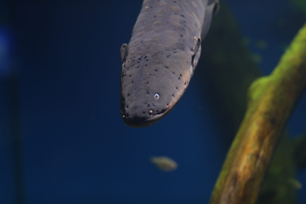 ripleys-aquarium-electric-eel