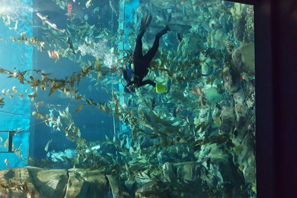 scuba-diver-pacific-kelp