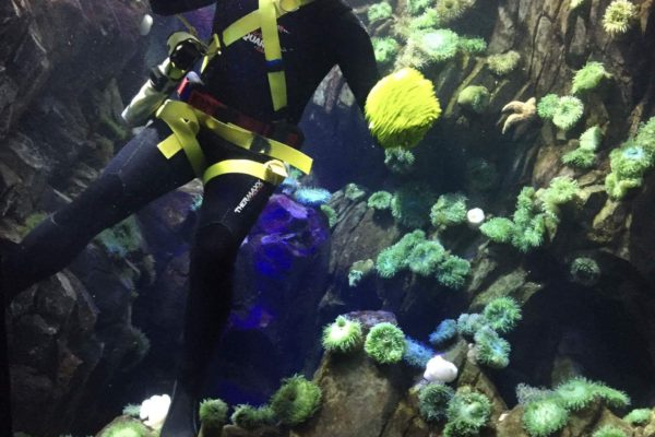 Aquarist Kevin diving in the anemone tank, located in Canadian Waters.