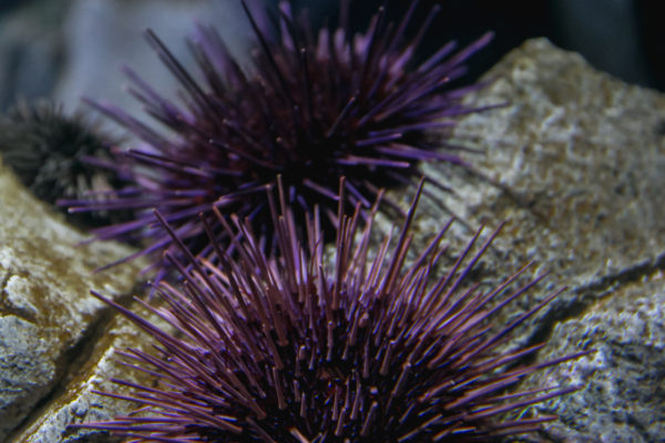 ripleys-aquarium-sea-urchin