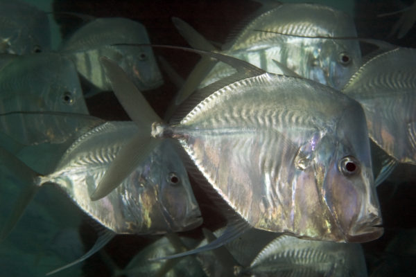 "Lookdowns get their name from their odd facial appearance! From the side they look like a shimmering, silver broad shaped fish but from a head on perspective they seem to disappear. They are extremely thin and rely on this ""shape shifting"" to camouflage themselves from predators."