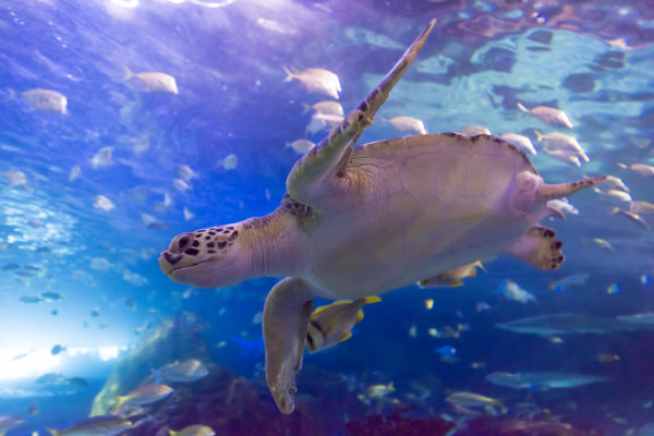 Green sea turtles are among the largest of the seven species of sea turtle. They can cross entire oceans on annual migrations of 2,000 kilometres or more. Be sure to stay on high alert while exploring Dangerous Lagoon as many guests have a hard time spotting our mysterious green sea turtles!
