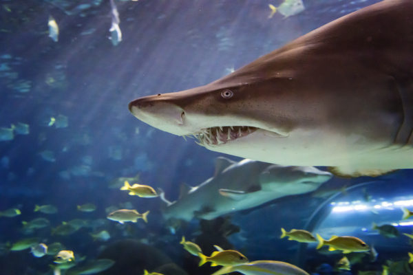 Despite their ferocious appearance, sand tiger sharks are a relatively docile species. Sand tigers are the only known shark that can gulp air. They use this air to help regulate their buoyancy and float motionless in the water, making them a very efficient predator!
