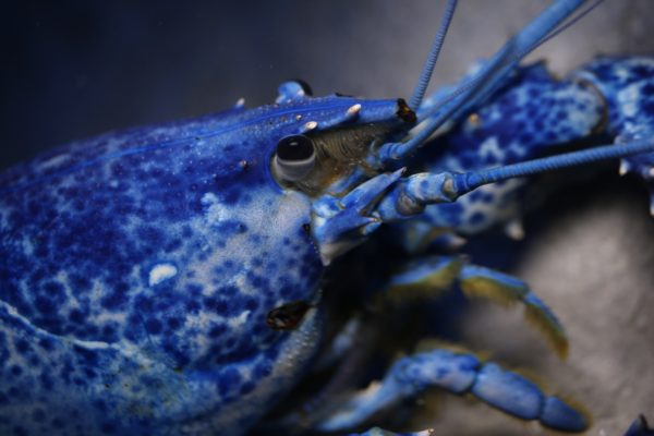 American lobsters are naturally reddish-brown in colour. Ripley's Aquarium of Canada is home to lobsters of many colours! These distinct, bright colours are caused by genetic anomalies and are extremely rare, up to one in ten million!