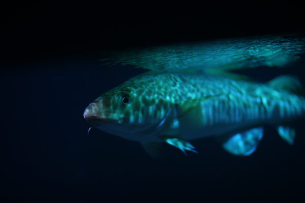 Cod have been a popular food fish for over 500 years and ultimately, overfishing has decimated their populations. Considered an apex predator, Atlantic cod can grow to a length of 2 metres, and reach 25 years of age.