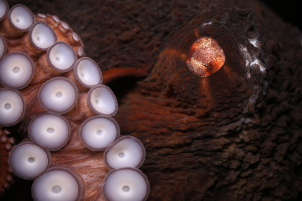 Giant Pacific octopuses start their lives about the size of a rice grain and will reach well over 15kg in their 3-4 year lifespan. They are well-adapted hunters, with over two thousand chemoreceptive suckers, sharp eyesight, a venomous bite, and skin that can change colour and texture in a fraction of a second.