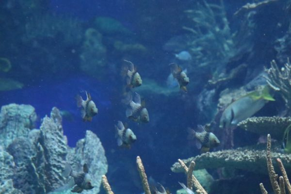 A group of pajama cardinal fish in Rainbow Reef.  This school is always in the same place in the exhibit -- see if you can find it!