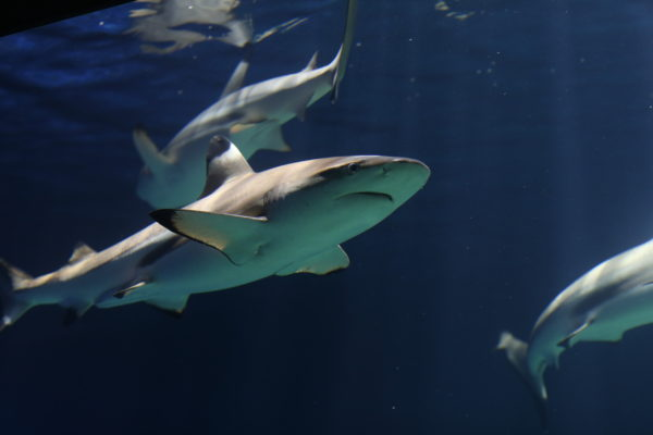 Blacktip reef sharks are easily spotted by the characteristic black tips on their fins! Blacktips are not fussy eaters and can cope with a wide range of prey, including toxic, spined porcupinefish, stingrays, crustaceans, molluscs and sea snakes.