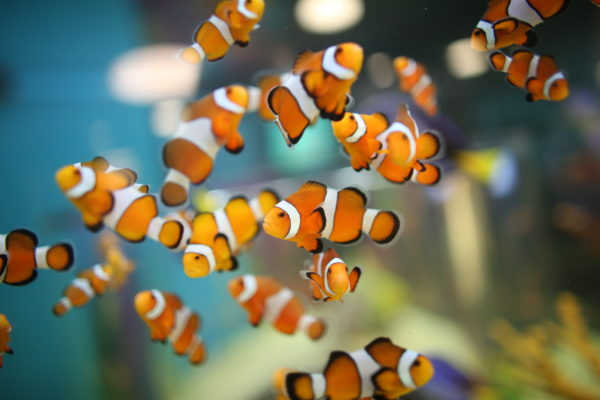 These iconic fish aren't clowning around! Clownfish enjoy an extraordinary relationship with sea anemones. They take shelter among anemones to protect themselves from predators, while a layer of mucus protects them from the anemone's stinging tentacles.