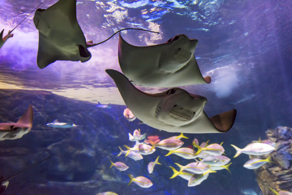 Cownose rays form schools of as many as 10,000 to migrate. It is thought that they use water temperature and the orientation of the sun to help guide them. Using their frontal lobes (named after a cow's nose), they sift through the ocean floor looking for tasty clams, snails, crabs and other invertebrates.
