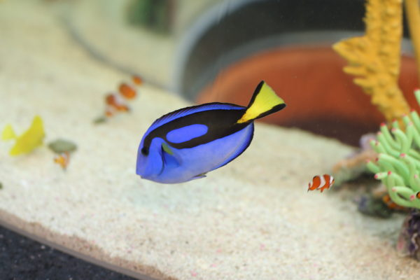 Palette surgeonfish are named after the black marking on their sides that resemble an artist's palette. The surgeonfish can defend themselves in unique ways. Equipped with a sharp spine at the base of their tail, when threatened the surgeonfish can use this defence mechanism to inflict debilitating pain on predators.