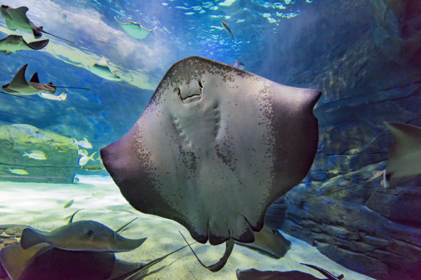 Southern stingrays can bury themselves in the sand in a split second, keeping only their eyes and spiracles visible. Like other rays, they feed on shellfish and crustaceans along the bottom of the ocean. Ray Bay is home to only female southern stingrays because they can have up to 10 pups at a time!
