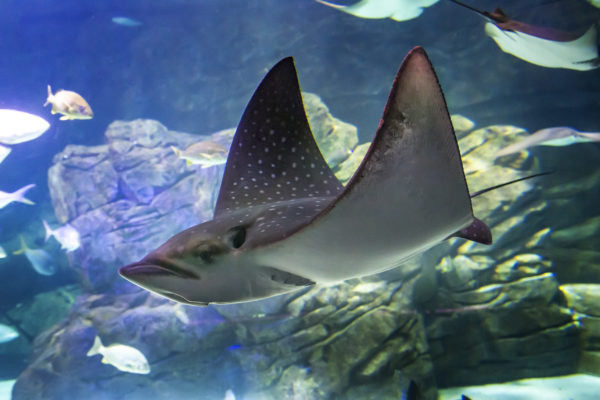 This beautiful ray consists of three species that inhabit tropical waters in the Atlantic, Indo-Pacific and East Pacific. Deserving of the name eagle ray, they are known to jump completely out of the water to escape predators or dislodge parasites. You can easily spot our eagle rays because they are covered in beautiful spotted markings!