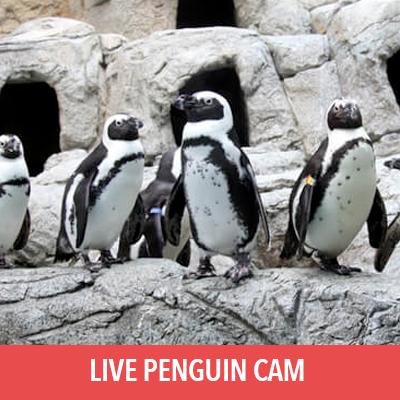 live penguin cam