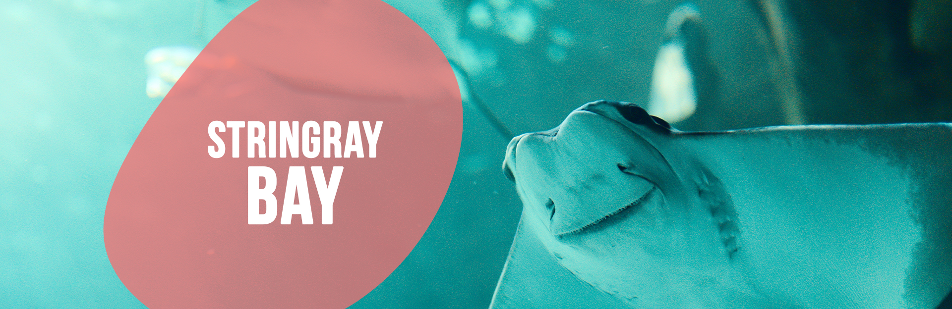 Header image of Stingray swimming for the Stingray Bay page
