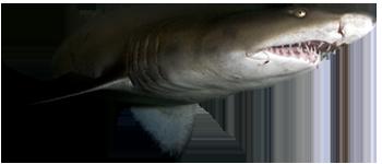 SandTiger Shark