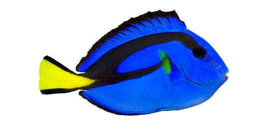 Coral Reef - Regal Blue Tang