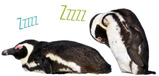 penguins sleeping