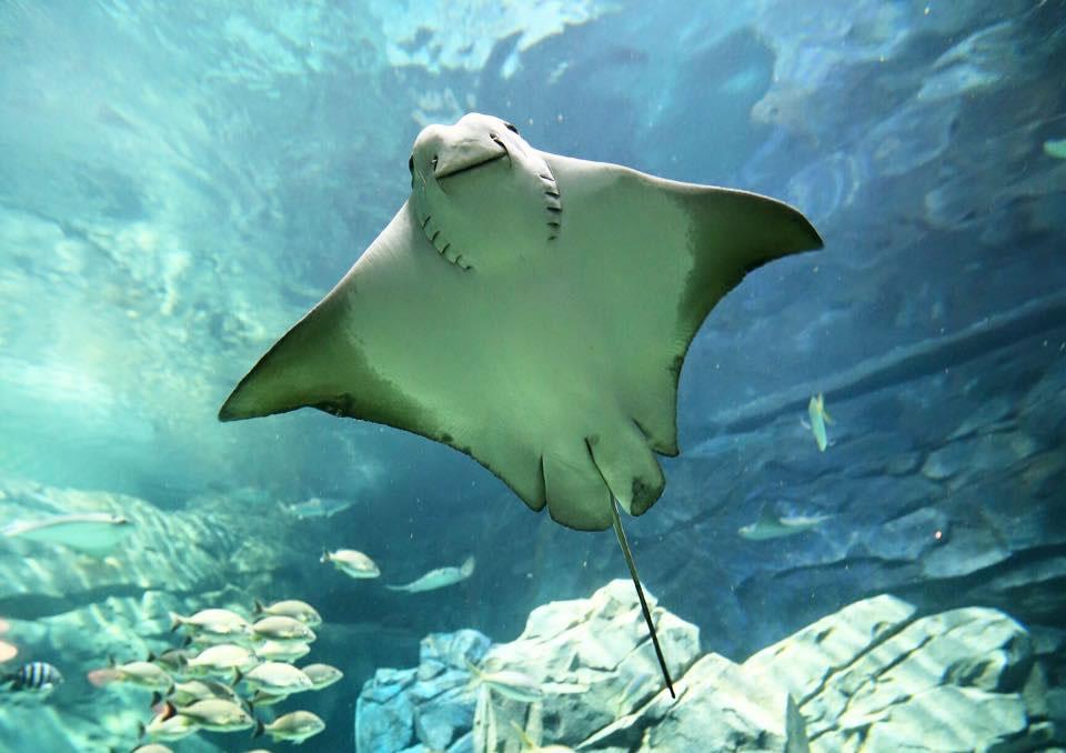 20010ebf6dd Successful Stingray C-Section at the Aquarium