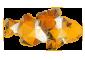 geo-clownfish