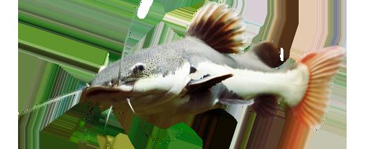 rio catfish