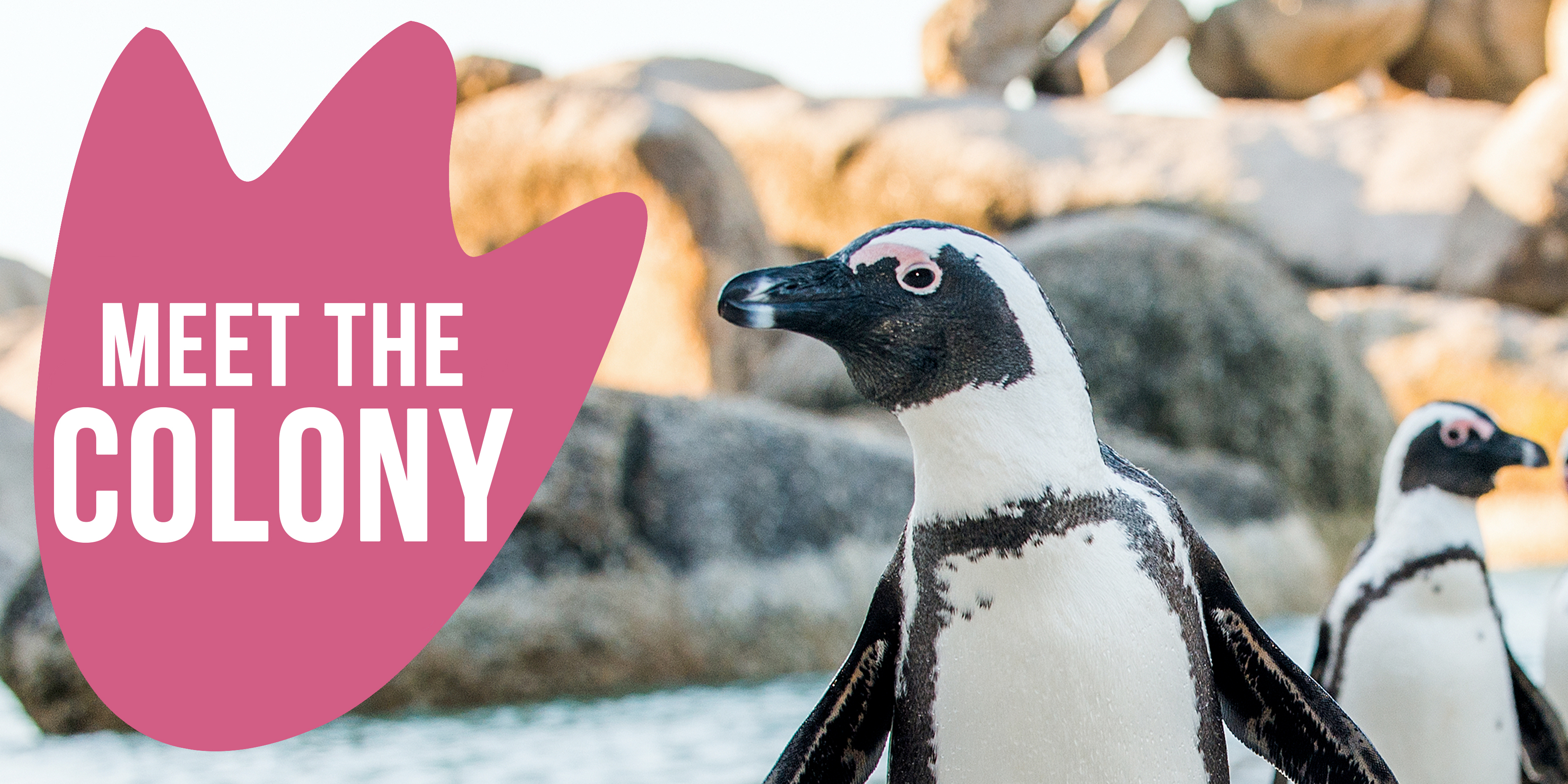 Meet The Colony Penguin Graphic