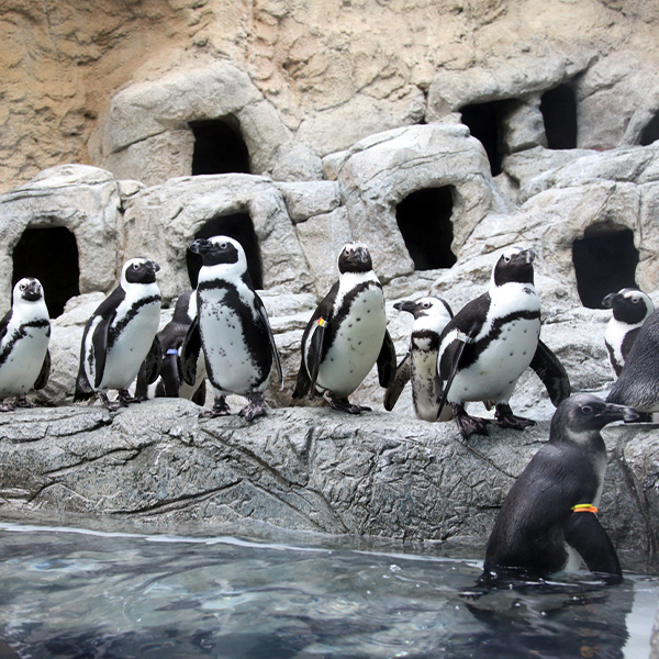 Image of penguins waddling